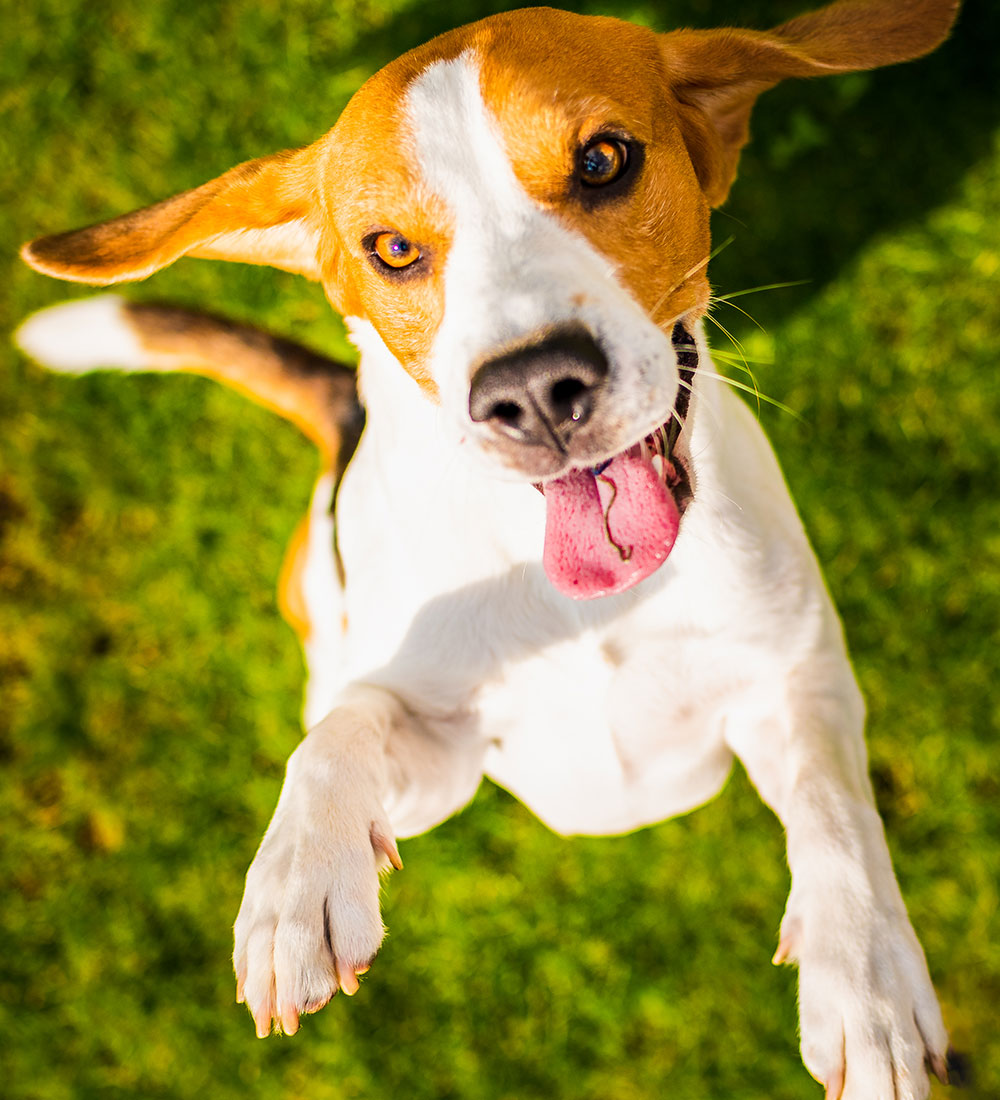 Dog Jumping Square